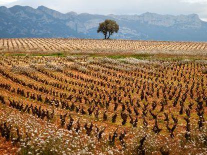 Durante 10 años adquirieron los viñedos más selectos de la comarca riojana de la Sonsierra.
