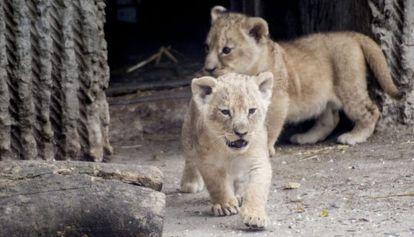 Dos cachorros de león en el zoo de Copenhague el pasado julio.