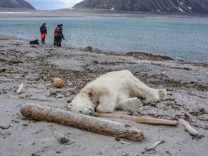 Un oso polar abatido tras atacar a un guía turístico en el archipiélago de Svalbard en 2018.