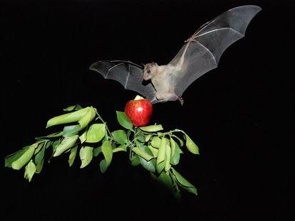 Murciélago de la fruta ('Rousettus aegyptiacus').