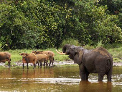 Elefantes y búfalos en el parque nacional de Odzala, al norte de la República del Congo.