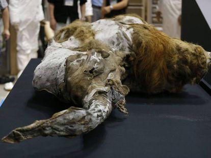 El mamut Yuka, que vivió hace 39.000 años en Siberia