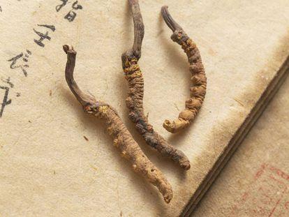 La seta oruga ha sido utilizada desde hace miles de años por la medicina tradicional china.