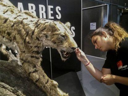 Una operaria da los últimos retoques a la reproducción de un dientes de sable 'Machairodus  aphanistus' en la exposición en Cosmocaixa.