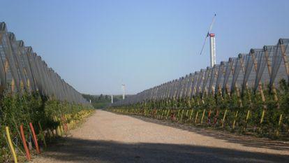 Cultivo de manzanos de la empresa Nufri, en  La Rasa (El Burgo de Osma, Soria).