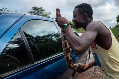 Un hombre sostiene un trozo de serpiente junto a la ventana de un automóvil que pasa por una carretera costamarfileña, con la esperanza de vender la carne. Pincha en la imagen para ver la fotogalería completa.