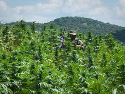 Un marino destruye plantíos de marihuana en Sinaloa, México.