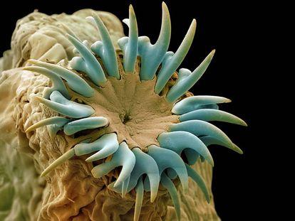Microfotografía electrónica de la cabeza o scolex de una 'Taenia pisiformis', gusano nemátodo parásito de conejos, perros y otros mamíferos.