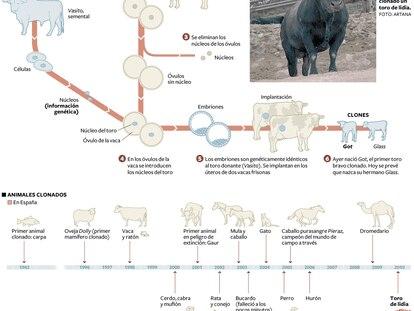 Clonación de un toro bravo