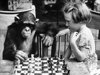 Partida de ajedrez entre una niña y un chimpancé en el zoo de Londres, en 1955.
