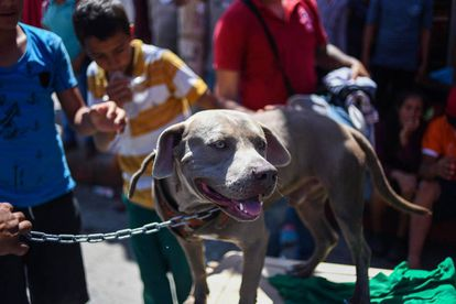 El perro 'Bolillo' durante una pausa en Huitxtla (Chiapas).