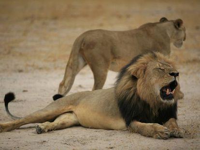 Imagen del león Cecil tomada en 2012.