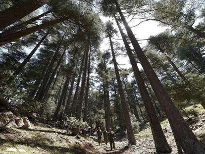 Bosque de cedros en Marruecos. Esta especie está amenzada por el cambio climático.