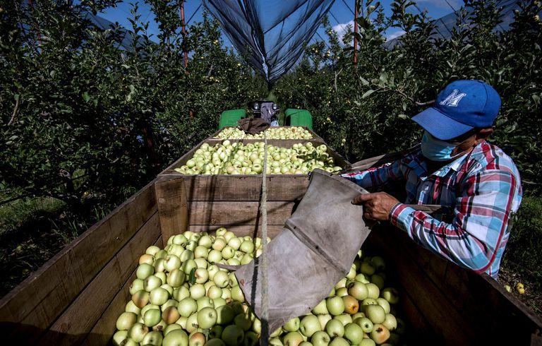 Trabajadores cosechan manzanas en una granja de producción, en Coahuila.