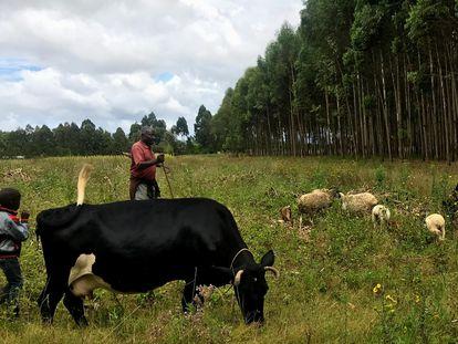 Lawrence Kamau, junto a su hijo, observa pastar a sus vacas y ovejas en Lobere, Kenia.