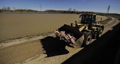Un tractor recoge decenas de cerdos muertos por la riada del Ebro.
