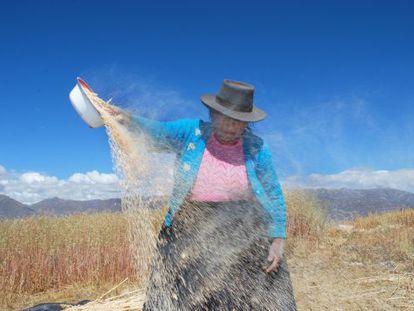 El 'wayrachi' o venteo es el momento en el cual, con un recipiente, se tiran los granos al viento para quitarles los restos de los tallos.