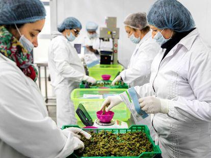 Unas trabajadoras pesan marihuana en la finca Libertad.