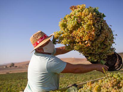 Un jornalero con mascarilla descarga la uva vendimiada al camión en la viña La Capitana en la campiña jerezana, en Cádiz.