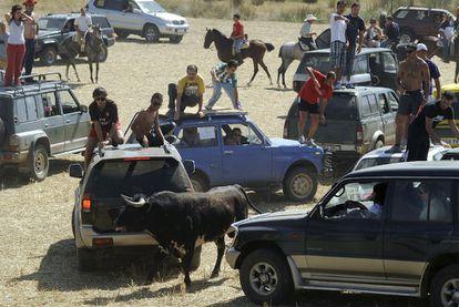 Un toro, rodeado por varios coches con mozos a bordo mozos en el encierro de hoy de Galápagos (Guadalajara).