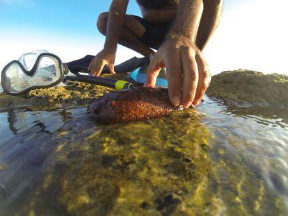 Un pepino de mar en una playa de Cádiz.