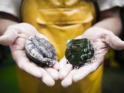 Un operario de la piscifactoría de Muros (A Coruña) muestra ejemplares de abalón criados en la planta.