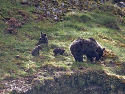 Un grupo de osos, en la parte occidental de la cordillera Cantábrica.