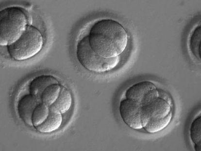 Embriones a los que se aplicó la técnica Crispr