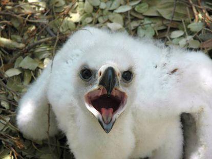 Las crías de águila, como esta de perdicera, están más expuestas al debilitamiento del sistema inmune por el calor.
