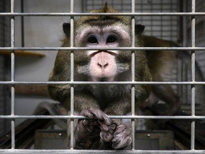 Un macaco en una jaula en las instalaciones del laboratorio Vivotecnia, en Madrid, cerrado por supuesto maltrato animal.