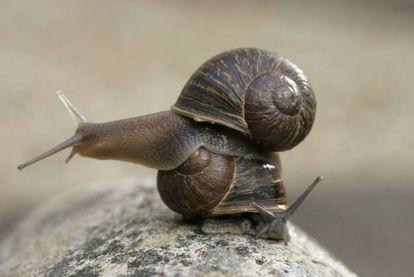 El caracol 'Jeremy' (arriba), con la espiral de su concha girada a la izquierda y 'Theresa' (abajo), con la espiral normal en los moluscos.