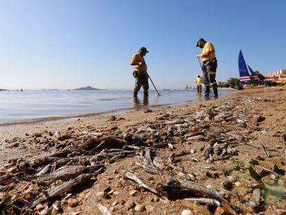 Operarios retiran del mar los peces muertos que han aparecido por quinto día consecutivo este viernes en las playas del Mar Menor en Murcia.