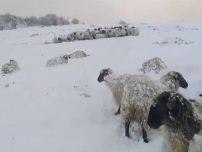 Ovejas sepultadas bajo la nieve.