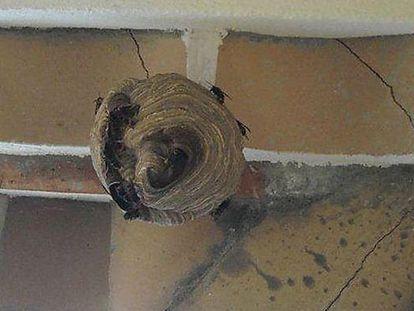 El nido de 'avispas asesinas' hallado en Roses.