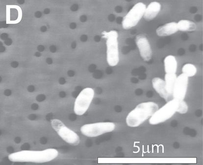 Micrografía de la bacteria capaz de sustituir el fósforo por arsénico en su organismo