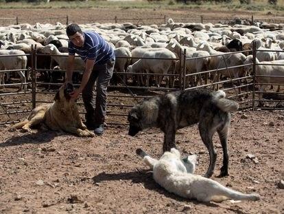 El ganadero Javier Arroyo con los mastines que le ayudan a evitar daño del lobo a su rebaño de ovejas.