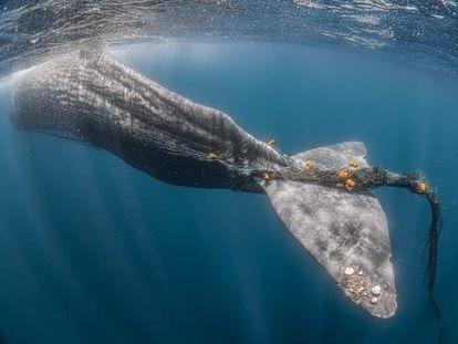 El cachalote 'Toño' atrapado en una red de pesca en el estrecho de Gibraltar.