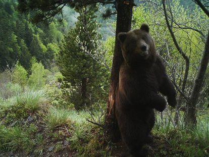 El oso Cachou en una imagen de 2017.
