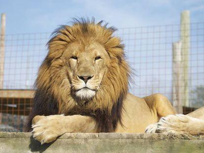 'Hansen', uno de los 15 leones del Centro Conservacionista de Carolina del Norte.
