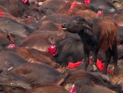 Animales sacrificados durante el último sacrificio ritual en Nepal.