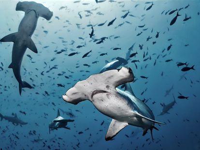 Varios ejemplares de tiburón martillo nadan junto a otras especies.