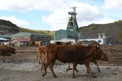 Unas vacas, el pasado miércoles, en los alrededores del pozo minero Emilio del Valle, en Ciñera (León).