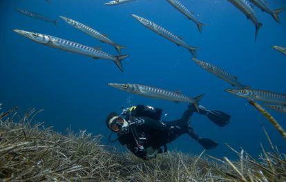 Un banco de espetones, o barracudas, sobre praderas de Posidonia en la reserva marina.