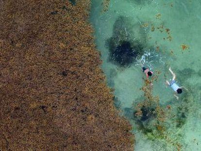 El calentamiento de los océanos aumenta la presencia de esta alga en las playas de la Riviera Maya, afectando la industria turística y el medio ambiente