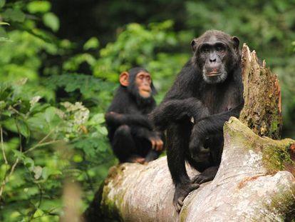 El conocimiento adquirido y transmitido por los chimpancés está en riesgo.