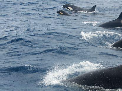 Un grupo de orcas, en el estrecho de Gibraltar.