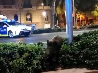 Un jabalí corre por las calles de Barcelona, en una imagen difundida en las redes sociales.