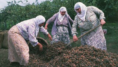 Un grupo de mujeres recoge avellanas en Turquía.