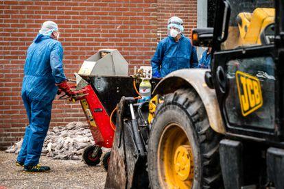 Varios empleados limpian los restos de visón sacrificado de una granja infectada con coronavirus en Países Bajos.