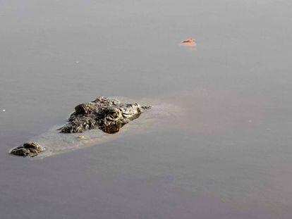 Un cocodrilo en el manglar Tajamar de Cancún.